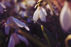 Snowdrops by LiberiusS