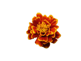 Flor amapola  Png flower png by malkarma