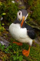 Puffin fratercula artica by cprmay