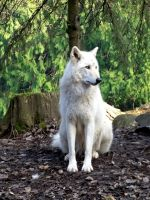 White Grey Wolf XI by Track-Maidens