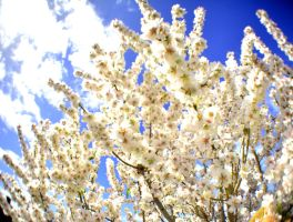 Almond tree blossoming by OPTILUX