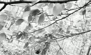 Black and White Spring Time in Woods by sazzyarmani