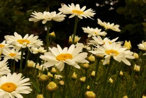 Shasta Daisies by PamplemousseCeil
