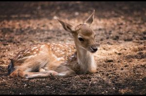 Fawn by Ylliny