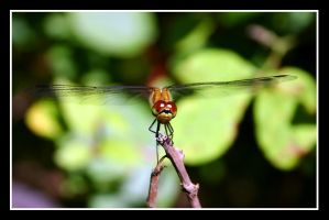 Wiseguy dragonfly by Keith-Killer
