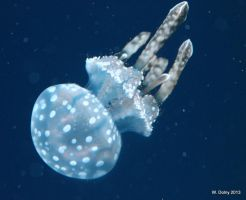 Australian Spotted Jellyfish by lenslady