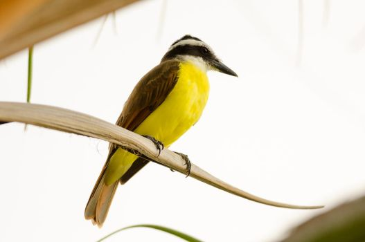 Great Kiskadee by do7slash
