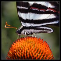 Zebra Swallowtail - ConeFlower by Karl-B