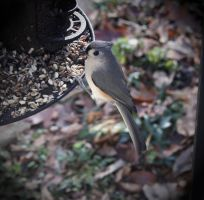 """Tufted Titmouse"" by SuzyQ54"
