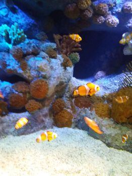 Clownfish by ImperataLexinor
