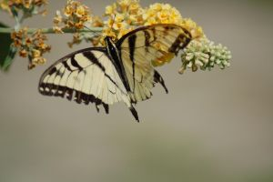 Tattered Butterfly by SeeThruMineEyes