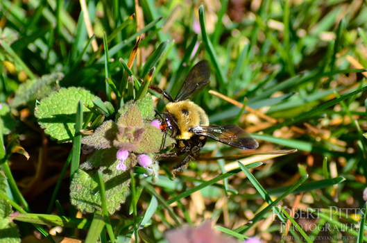 Eastern Carpenter Bee (Xylocopa virginica) by Busted11290