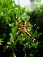 Wasp Spider by helice93