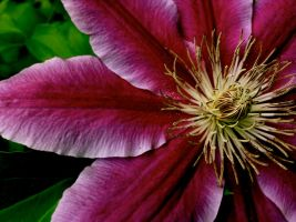 Clematis by AgonizingSwordfish