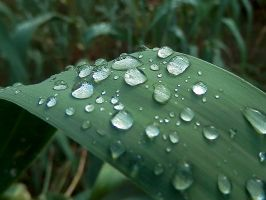 Raindrops on reed leaf by gonzaleztitorenko