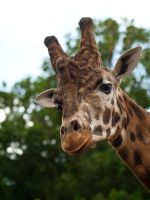 Giraffe 05 - Jun 13 by mszafran
