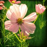 Summer Cosmos by MartaEmi