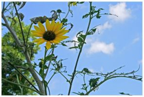 Sunflower With Sky Background by shawn529