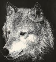 Scratchboard Wolf by Stickdog