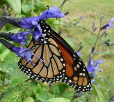 ....Monarch.,tight hug by duggiehoo