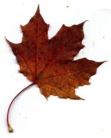 Autumn Leaf 45 by fioletta-stock