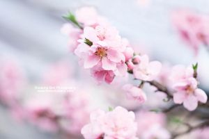 Pink Spring - Day 58 by rosannabell