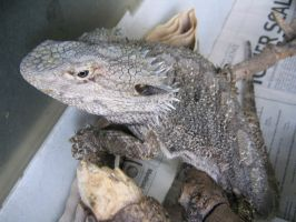 Eastern Bearded Dragon :: 011 by Linkch-stock