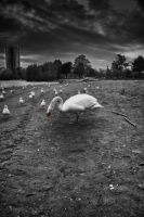 Black n White Swan by RavenGraphics