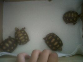 4 baby tortioses by ThatSurferGirl