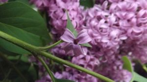 Lilacs by DarlingChristie