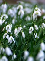 Field of snowdrops by Tricia-Danby