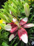 Asiatic Lily by DoctorTonyStarkWho