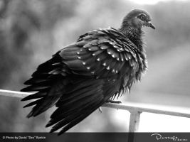 Black and White Feathery Pigeon by Doverge