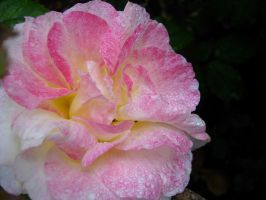 Raindrops on Roses by NinsPhotos
