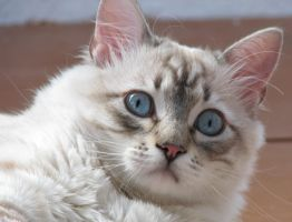 Cat with pretty blue eyes by MoonGod