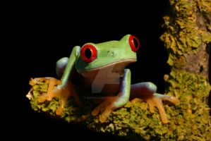 Tree frog on twig by AngiWallace