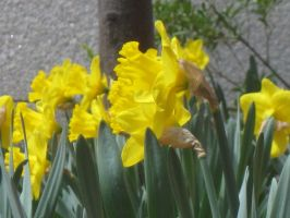 430 bunch of Daffs by crazygardener