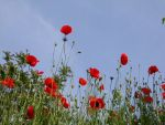 Coquelicots 3 by Flore-stock
