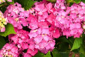 Pink Hydrangea by FictionalMind