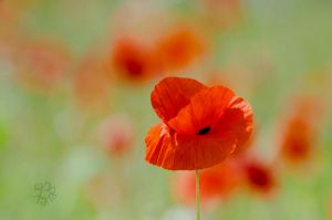 Poppy for Rozi by XanaduPhotography