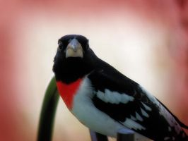 Rose Breasted Grosbeak by S-H-Photography