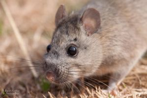 Woodrat by EdgedFeather