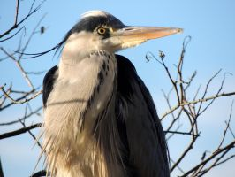 Watchful heron by 3LadyInRed3