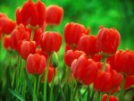 Red Tulips by RobVanDamme