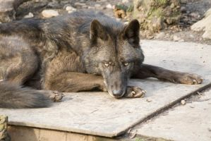 Eastern timber wolf by TheDecoy