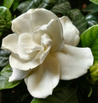 Gardenia by loveautumnandnature