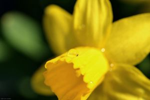 Daffodil Droplets by WickedOwl514