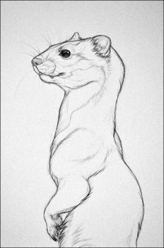 A Weasel by nikkiburr
