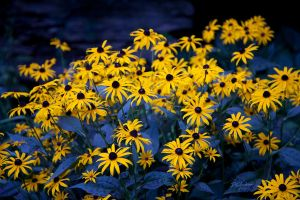 Black eyed susans in the shade by DGAnder