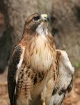 Red-Tailed Hawk 20D0034727 by Cristian-M